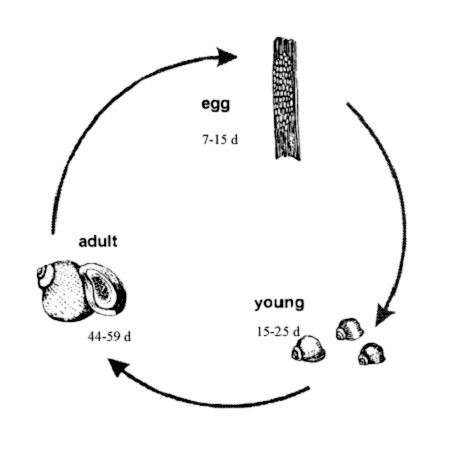Snail Lifecycle Welcome To Mrs Weitzs Grade 2 3 Classroom Website